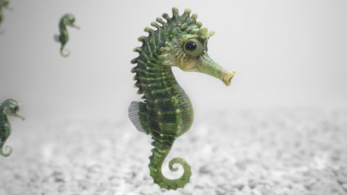 seahorse_close2